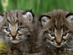 Cute Two Bobcat