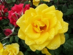 Big Yellow Rose in Dew Drops