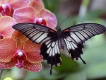 Butterfly Sitting on Pink Orchid