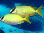 masked rabbitfish