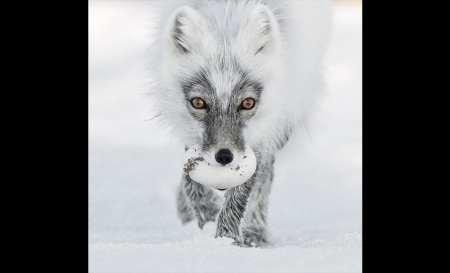 Arctic fox raided a snow goose nest