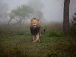 Male Lion on misty morning