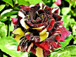 TWO TONED ROSE FRACTAL