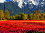 Flowers in fields plus mountains