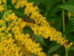 Mystery Bug & a Fly on Goldenrod