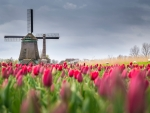 Tulips Field in Netherland