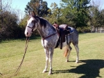 Gorgeous Blue Roan and White Gelding~Gaited