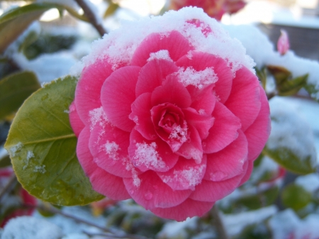 Snow on Camellia - macro, petals, pink, camellia, snow, flower, nature