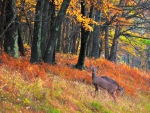 Two White Tail Deer Autumn In Virginia U.S.A.