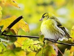Yellow Autumn Bird