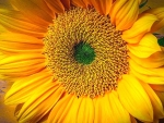 ✿⊱•╮Fresh Sunflower╭•⊰✿