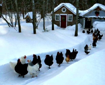 Chickens - Animals, Birds, Chickens, Snow