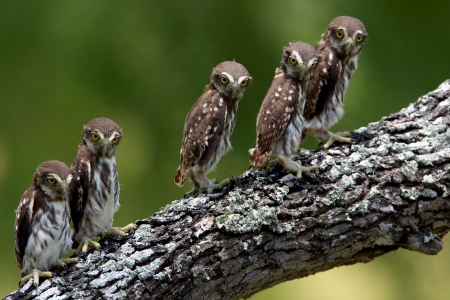 baby owls - owl, branch, bird, baby