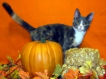Cat for the best Pumpkin