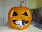 Cute Puppy In Halloween Pumpkin