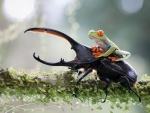 FROG RIDING BEETLE