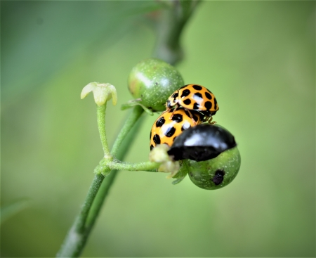 Lady Beetle's making love - gold, photography, Australia, Brisbane, weeds, Queensland, Lady Beetle meeting weed, Lady Beetle, close up, nature, tiny, small, yellow, Lady Beetles making love, close up photography