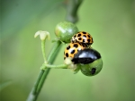 Lady Beetle's making love