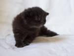 cute black fluffy kitten