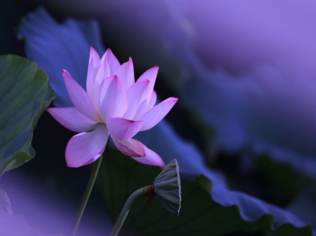 Lotus - Pink, Flower, Lotus, Nature