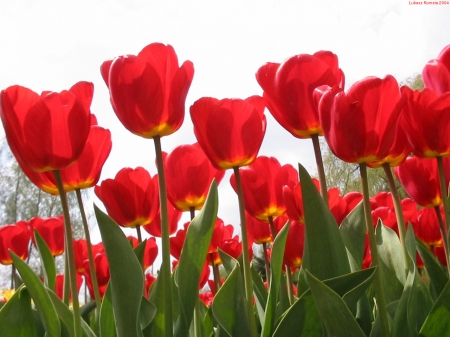 TULIPS - PETALS, NATURE, STEMS, LEAVES