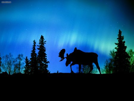 Night phenomenon - moose, aurora, silhouette, blue, canada, northern lights, night