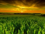 Green Wheat Field at Sunset