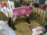 County Fair: Designer Sheep! :D