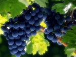 'Grenache' grapes ready for picking
