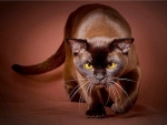 velvet brown cat