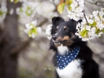 Sheltie in spring