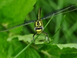 green dragonfly
