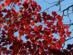 Scarlet Leaves in Sunshine