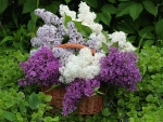 THREE COLOURS OF LILACS