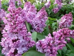 LOVELY LILAC FLOWERS