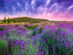 Purple Flowers of Lavender at Twilight