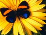 Yellow Flower with Colorful Butterfly