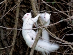 Albino Twin Squirrels