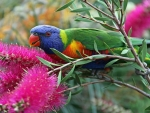 Rainbow Lorikeet on the Nectar