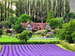 The Lavender fields at CastleFarm Kent, England