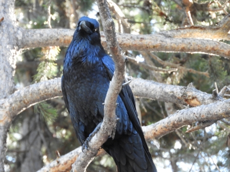 Beautiful Raven - snap it, looking at you, Perched, Woodland beauty