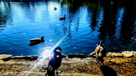 Canadian Geese in an Autumn Pond - Ponds, Nature, Autumn, Geese, Lakes, Fall