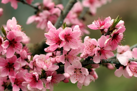 Pretty blossoms - pink, apple, flowers, pretty, blossoms, tree, spring, nature