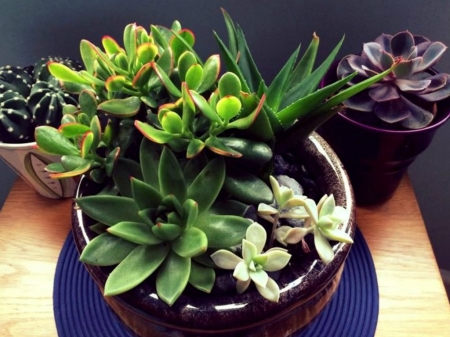 MIXED SUCCULENTS - MIXED, IMAGE, SUCCULENTS, PLANTS