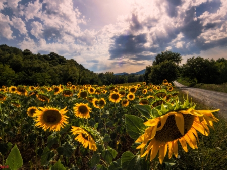 Field of Sunflowers Near the Road