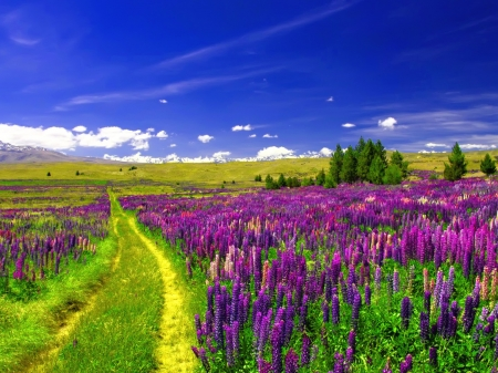 Lupine Field Under the Blue Sky - field, blue, flowers, path, sky, trees, nature, lupine
