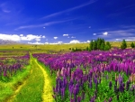 Lupine Field Under the Blue Sky