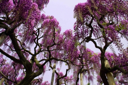 Paradise Trees - tree, naure, purple, amazing