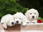 Three Small Puppies of a Golden Retriever