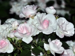 White Roses with Pink Medints